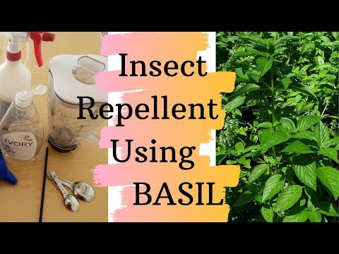 Homemade Insect repellent using BASIL   Keep insects away from your GARDEN  