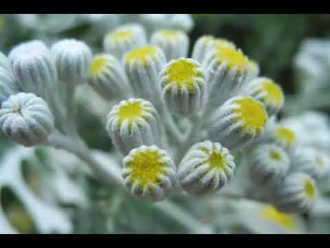 uses and benefits of Tansy Plant