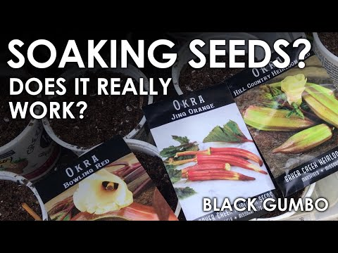 Does Soaking Seeds Speed Germination? || Black Gumbo
